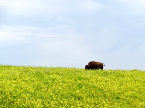 Bison in Wind Cave National Park in South Dakota