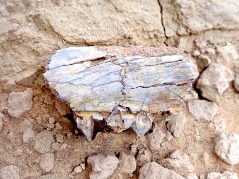 Fossil in Badlands National Park in South Dakota