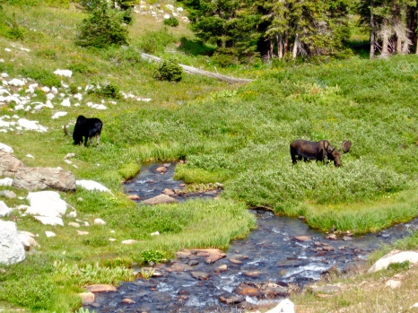 Moose in the Snowy Range in Medicine Bow National Forest in Wyoming